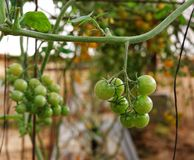 Green cherry tomatoes growing on the vine Royalty Free Stock Images