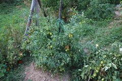 Green cherry tomatoes in my organic garden. stock photos