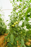 Green Cherry tomatos. A vine of green cherry tomatos Royalty Free Stock Images