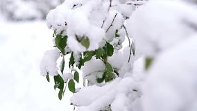 Green cherry tree leaves under first snow. First snow on the cherry tree green leaves stock video