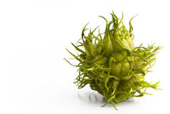 Green chestnut. Green spiky chestnut looking like from outer-space royalty free stock images