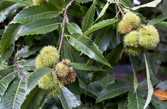 Green Chestnut Cupule Stock Image