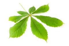 Green chestnut leaf. Green leaf chestnut isolated on white background Stock Photo