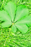 Green chestnut leaf lying on the new grass. In summer Royalty Free Stock Image