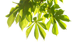 Green chestnut leaves Royalty Free Stock Photos