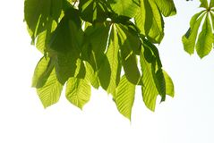 Green chestnut leaves Stock Photography