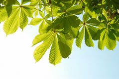 Green chestnut leaves Royalty Free Stock Image