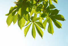 Green chestnut leaves Royalty Free Stock Photo