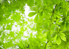 Green Chestnut Leaves Royalty Free Stock Photography