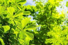 Green chestnut leaves against blue sky. Summer background. Green vegetation on clear sunny day. View of the leaves of chestnut tree stock image