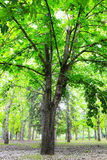 Green chestnut tree Royalty Free Stock Images