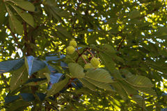 Green chestnut in the tree. Garden stock image