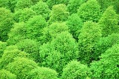 Green chestnut treetops Stock Photos