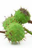 Green chestnut on white #4 Stock Images