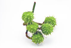 Green chestnuts Stock Photo