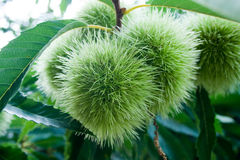 Green chestnuts Stock Photography