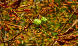 Green chestnuts growing on the tree Royalty Free Stock Photography