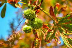 Green chestnuts growing on the tree Stock Photography