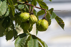 Green chestnuts in a peel on a tree close-up Stock Image