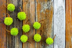 Green chestnuts on rustic wooden background Stock Image