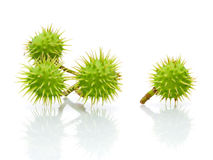 Green chestnuts on a white background with reflection Stock Image