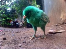 Green chick. Animals chicken nature Royalty Free Stock Photo
