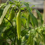 Green chili Royalty Free Stock Image