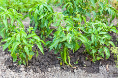 Green chili pepper bushes on beds in garden royalty free stock images
