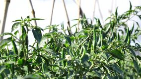 Green chili pepper in the garden, Da Lat city, Lam province, Vietnam stock video footage