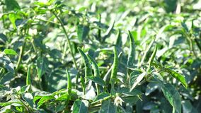 Green chili pepper in the garden, Da Lat city, Lam province, Vietnam stock video