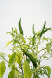 Green chili pepper on white background Stock Images