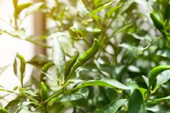 Green chili peppers on the tree. In garden Royalty Free Stock Images