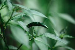 Free Green Chilli On The Tree With Green Leaf Stock Image - 94288631