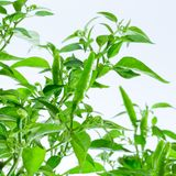 Green chilli pepper plant on white background Stock Images
