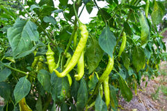 Green chilli peppers Stock Image