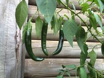 Green chilli stock photography