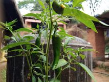 Plant of green chilli. Green chillie plant Stock Image