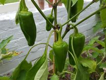 Chillies. Green chillies hot Stock Photography