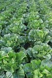Green chinese cabbage Stock Images
