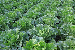 Green chinese cabbage Royalty Free Stock Photo