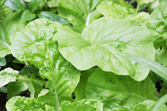 Green Chinese Cabbage, Brassica pekinensis Stock Image