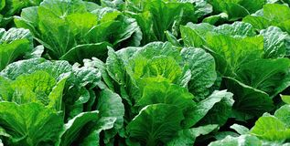 Green chinese cabbage crops Royalty Free Stock Image