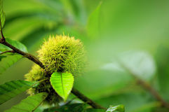 Green chinese chestnut Stock Image