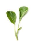 Green chinese kale Royalty Free Stock Photos