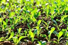 Green chinese radish at vegetable garden. Green chinese radish grow at vegetable garden Royalty Free Stock Photos