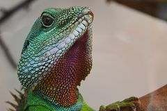 Chinese water dragon head Physignatus cocincinus looking forward from large terrarium Stock Images
