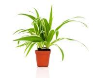 Green Chlorophytum plant Stock Photo