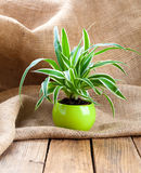Green Chlorophytum  plant in the pot Royalty Free Stock Photo