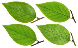 Green Chokeberry leaf Royalty Free Stock Photos