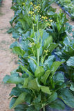 Green choy sum in growth Stock Photography